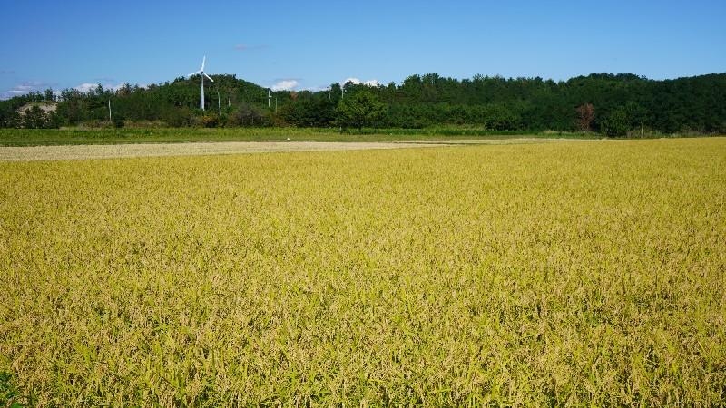 秋田の水田の画像